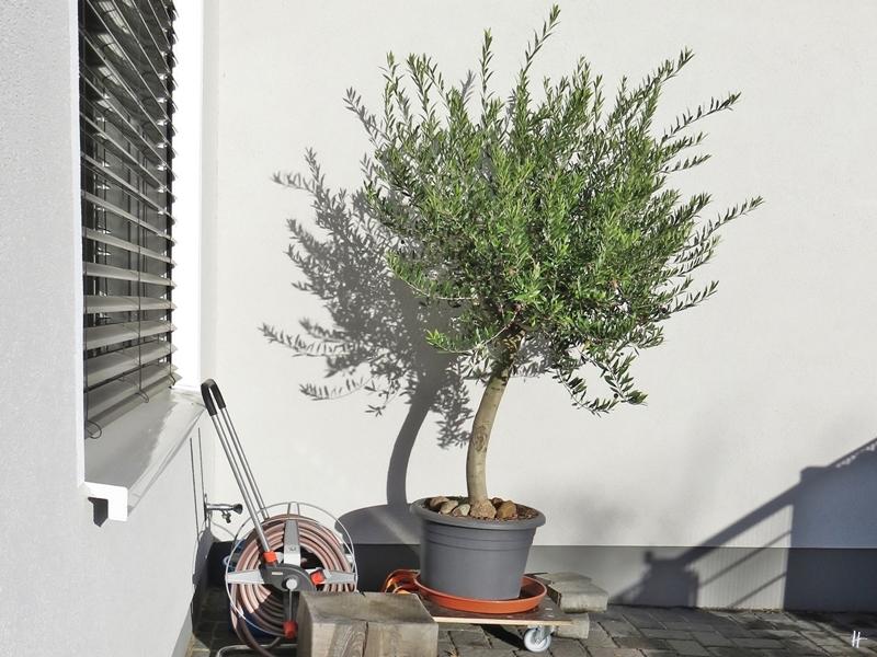 2018-12-04 LüchowSss Garten (3) Olivenbaum - Der Olivenbaum durfte auf seinem Rollbrett am 3. und 4. Dezember noch einmal aus der Garage ins Freie hinaus.